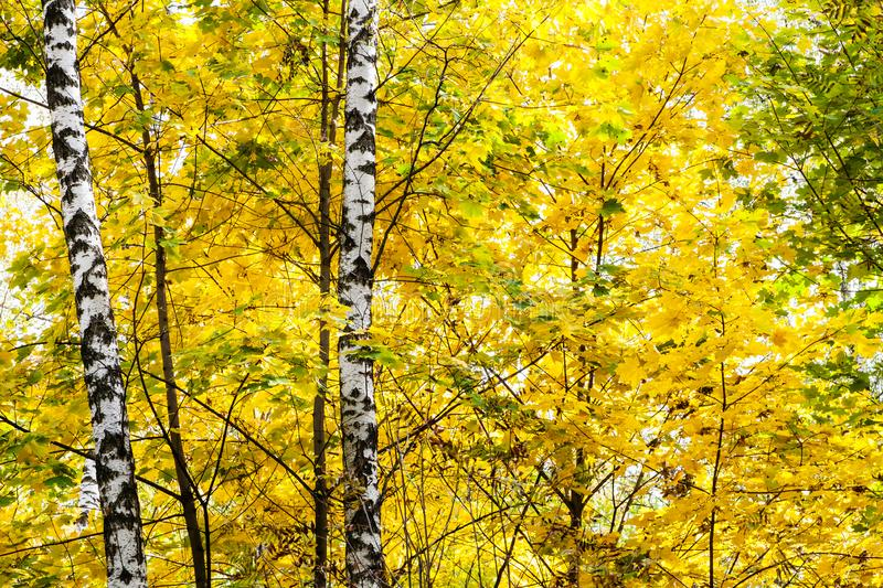Birches in yellow leaves of maple tree in forest. Birch trunks in yellow leaves of maple tree in forest of Timiryazevsky Park in sunny october day stock photos