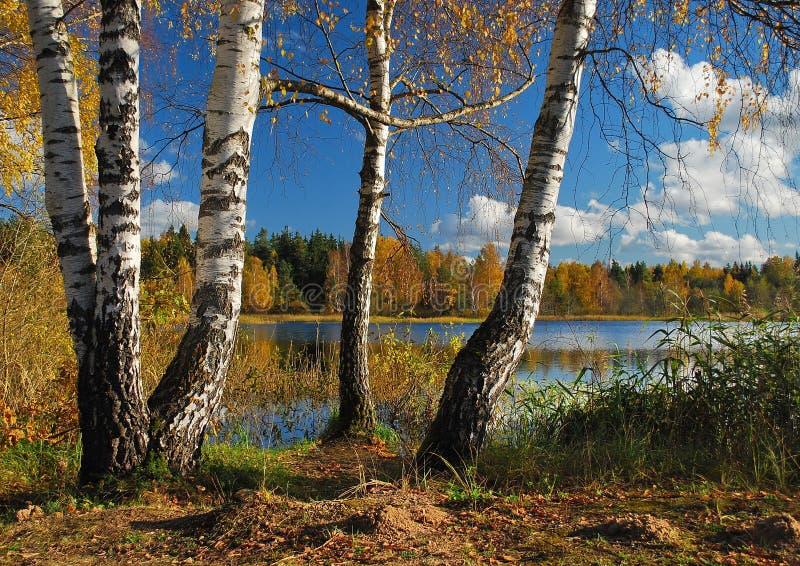 Birchs και λίμνη στοκ εικόνες