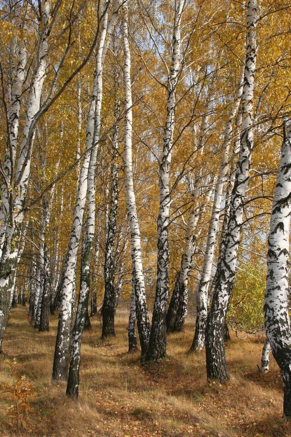 Birchs images stock