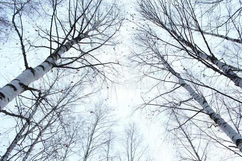 Birchs stockbilder