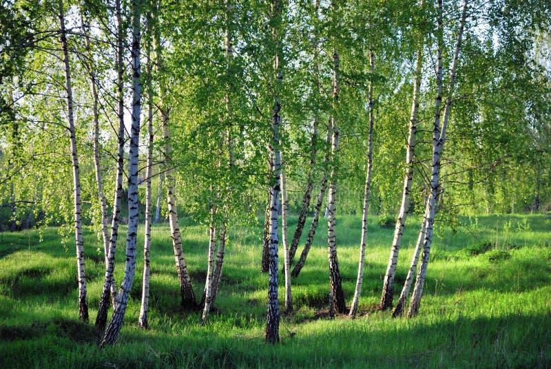 Birchs. Paisaje del norte. fotografía de archivo libre de regalías