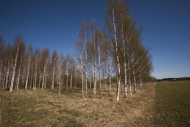 Birchtrees fotos de stock