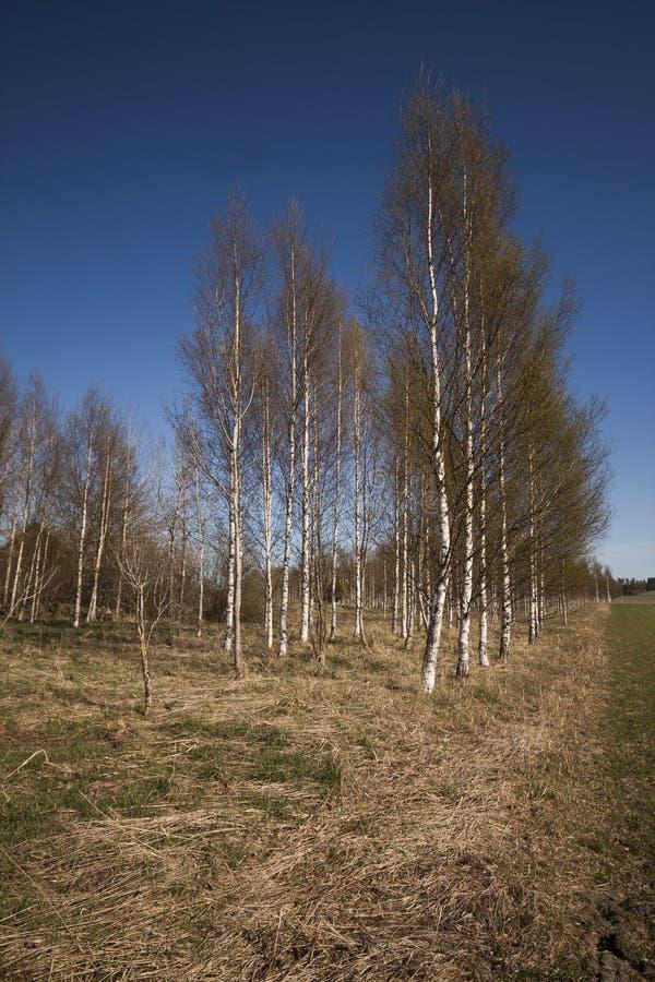 Birchtrees imagem de stock royalty free