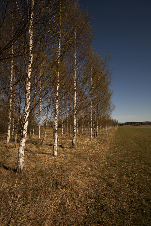 Birchtrees foto de stock