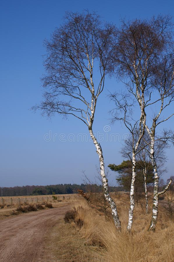 Download Birchtrees on a dutch moor stock photo. Image of road - 1380424