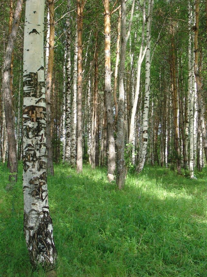Birchwood stockbild