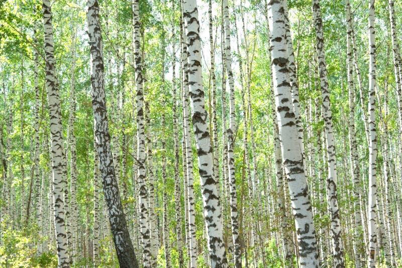 Birchwood foto de archivo