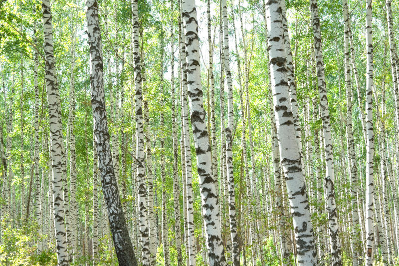 Birchwood stock photo