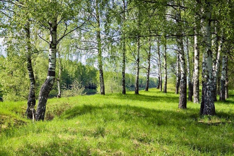Birchwood. foto de archivo
