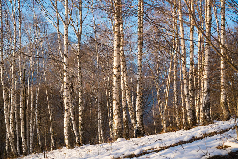Birchwood stock foto's