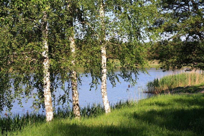 birchwood błyszczał słońce zdjęcia royalty free