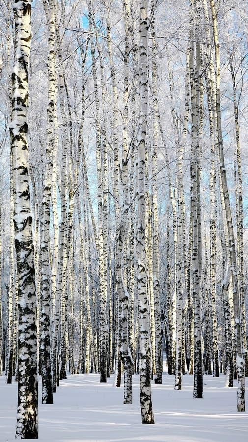 Birchwood del invierno imágenes de archivo libres de regalías