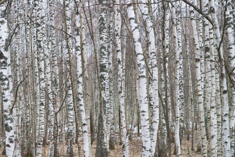 Birchwood del primo piano fotografia stock libera da diritti