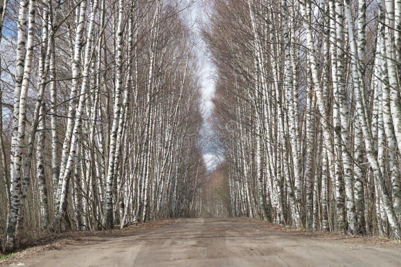 Birchwood e strada immagini stock libere da diritti