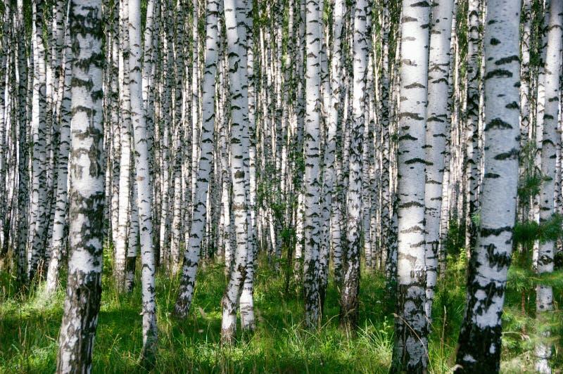 Birchwood in giorno pieno di sole immagini stock libere da diritti