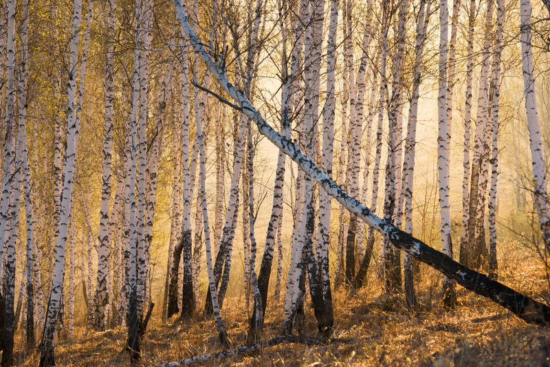 Birchwood no alvorecer fotos de stock