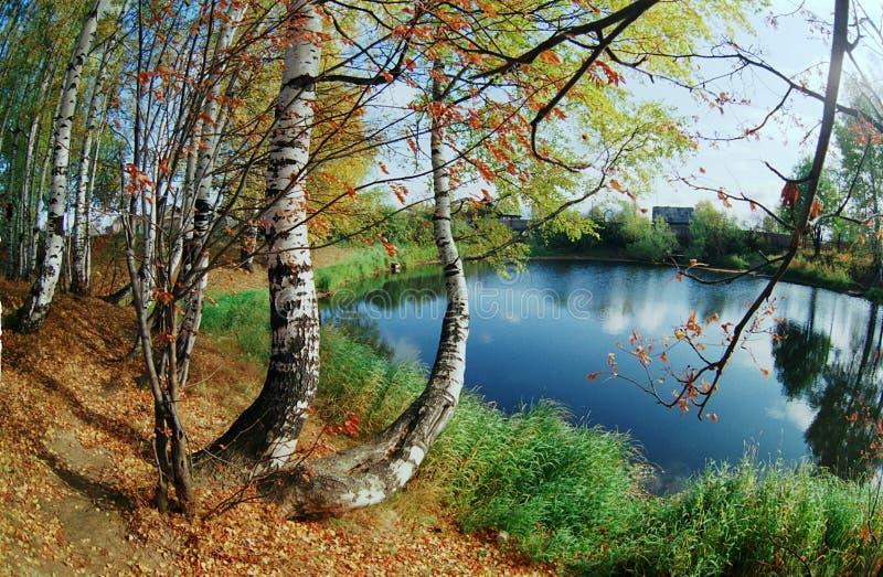 Birchwood op kust van meer. stock fotografie