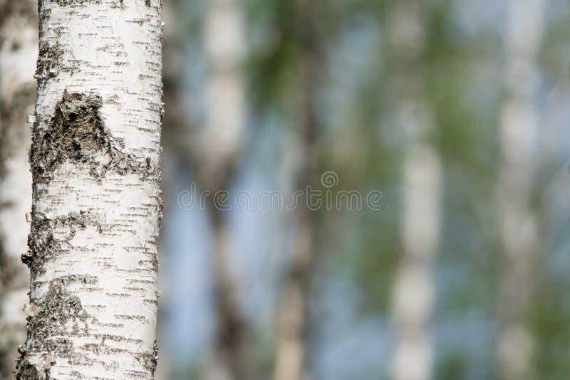 Birchwood in primavera fotografia stock