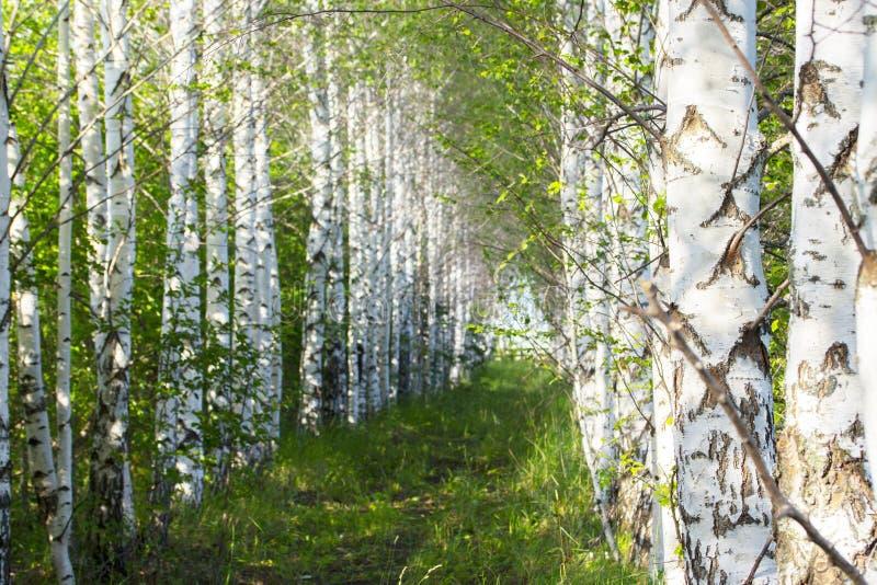 Birchwood, sendero cubierto con la hierba verde en los troncos lisos blancos de un bosque del abedul de los árboles de abedul pap imágenes de archivo libres de regalías
