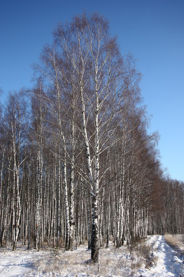 Birchwood in the winter. Effectively the birchwood in a combination to the blue sky and white snow looks in the winter stock image