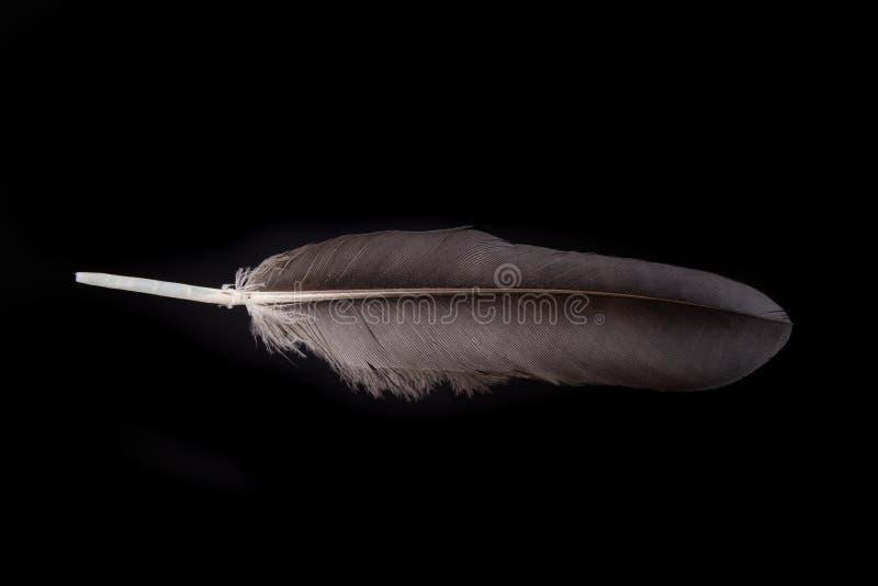 bird& x27的黑羽毛;s鸭子 鸟生活的羽毛在市区 免版税库存图片