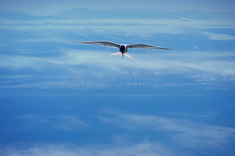 Download Bird stock photo. Image of freedom, wings, seagull, blackheaded - 169346