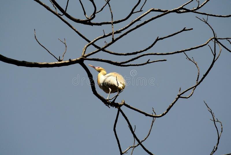 Download Bird stock photo. Image of yellow, hook, reeds, fauna - 24708012