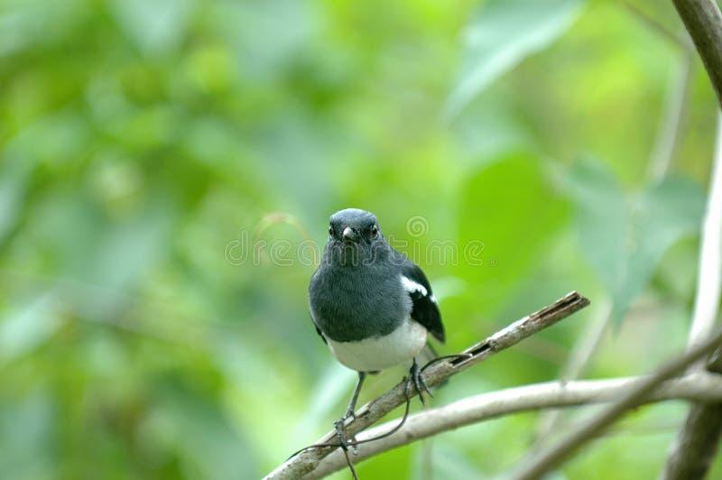 Download Bird stock image. Image of animal, black, asia, singapore - 4278011