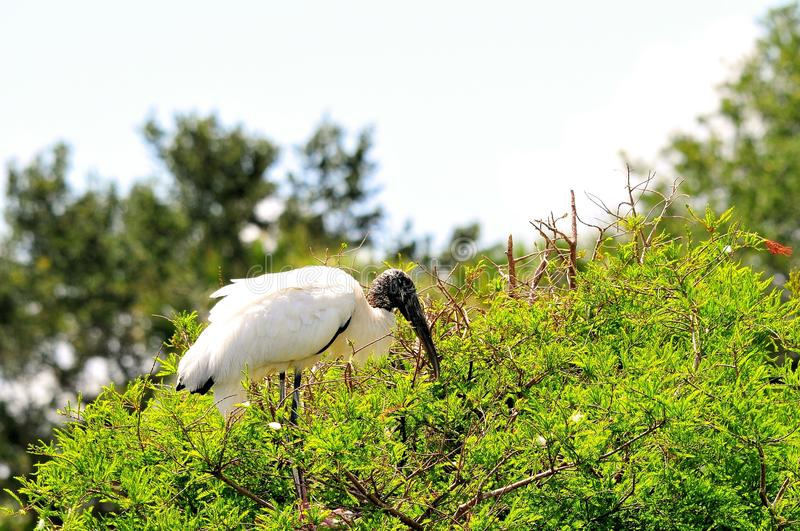 Bird, adult white Wood stork on top of tree. A white Wood Stork bird up on top of a tree in Wakodahatchee Wetlands, Delray Beach, South Florida stock images