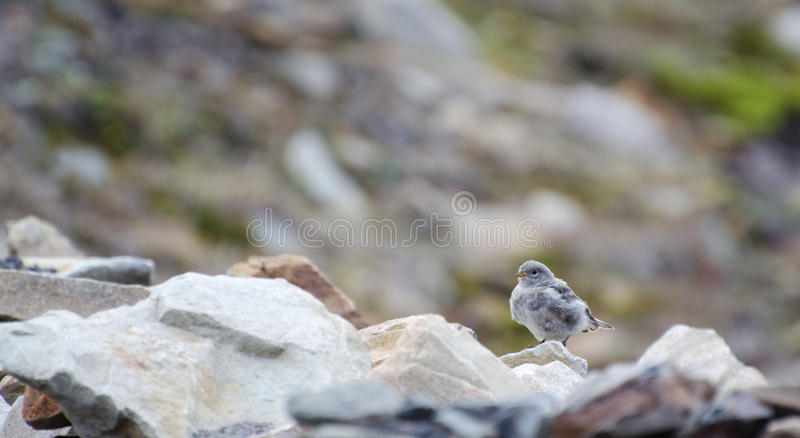 A bird Longyearbyen Svalbard, august 2017. A bird in Adventdalen valley in Norway Svalbard, august 2017 royalty free stock photo