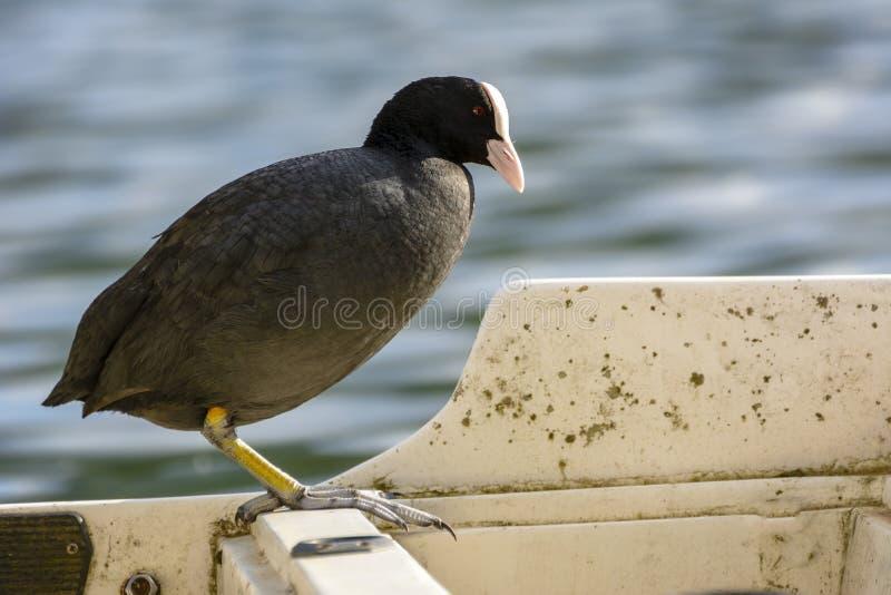 The Bird Agugliastra Water Hen. Piediluco Fauna in Italy stock image