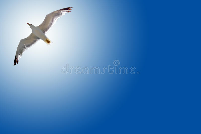 Bird in the air with wings wide open royalty free stock photo