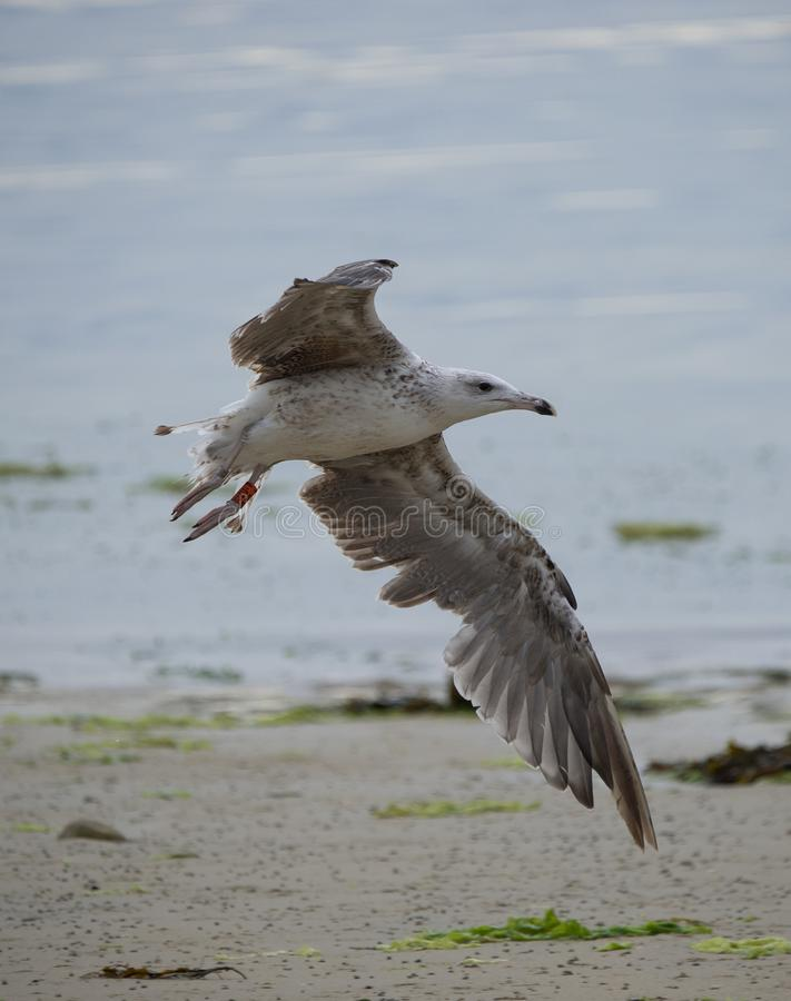 bird alone gull in summer on the beach in flight in color on seabed royalty free stock photography