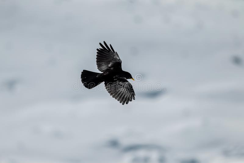 Alpine Chough. Bird Alpine Chough captured during his flight in winter scenery royalty free stock photos