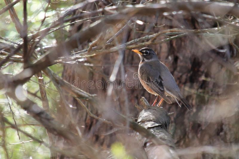American Robin in the woods stock photography