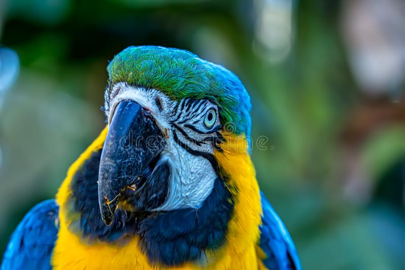 Bird Ara ararauna, blue and yellow macaw aka Arara Caninde, exotic brazilian bird.  royalty free stock photo
