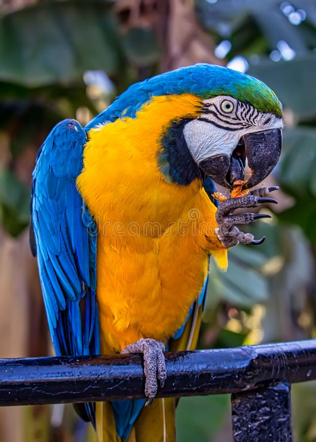Bird Ara ararauna, blue and yellow macaw aka Arara Caninde, exotic brazilian bird.  stock photography