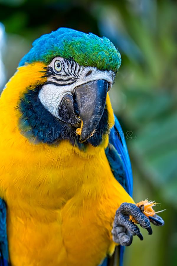 Bird Ara ararauna, blue and yellow macaw aka Arara Caninde, exotic brazilian bird.  royalty free stock photos