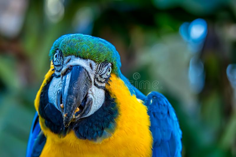 Bird Ara ararauna, blue and yellow macaw aka Arara Caninde, exotic brazilian bird.  royalty free stock image