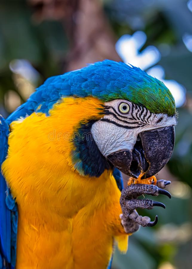 Bird Ara ararauna, blue and yellow macaw aka Arara Caninde, exotic brazilian bird.  royalty free stock photography