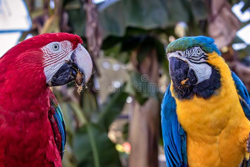 Bird Ara ararauna and Red macaw eating , blue and yellow macaw aka Arara Caninde and red macaw, exotics brazilian birds.  stock images