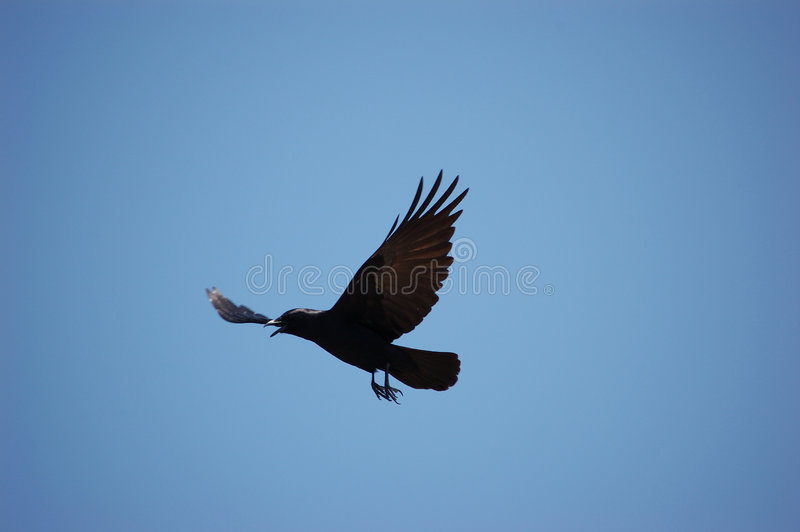 Bird - As the crow flies. A solitary crow with wings uplifted in flight across a clear blue sky As the crow flies is a metaphor for a straight line distance royalty free stock images