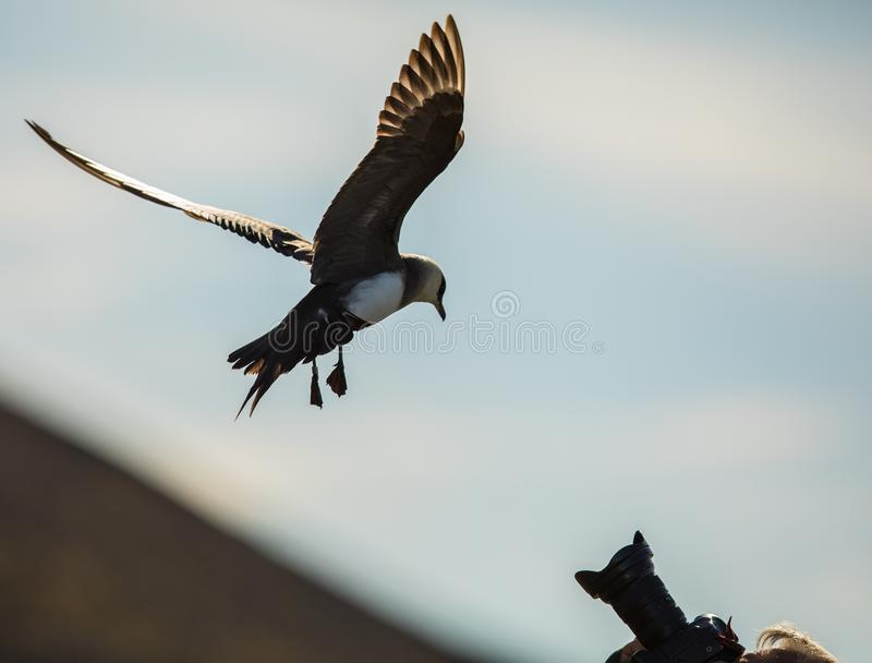 Bird attacking photographer. Arctic skua flying towards camera lens stock images