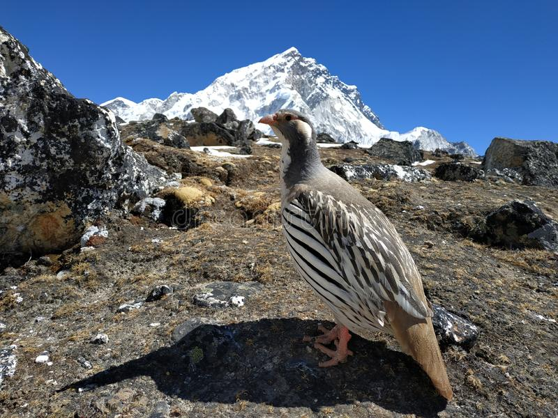 Bird on the background of high mountains. View of the mountain Nuptse. On the way to Everest. Climbing royalty free stock photos