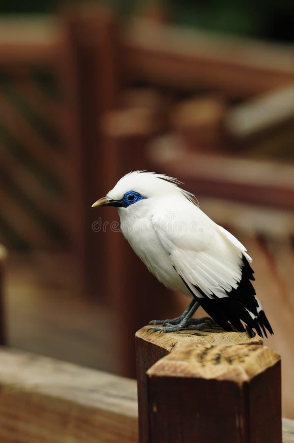Bird --- Bali Mynah Stock Images