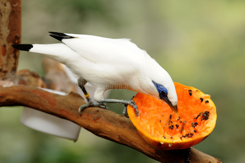 Bird --- Bali Mynah. Bali Mynah is an endangered species, this bali mynah is now living in Edward Youde Aviary at Hong Kong Park. the picture shows the bird stock images