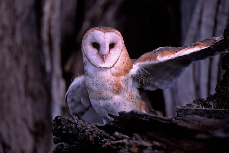 Bird-Barn owl royalty free stock image