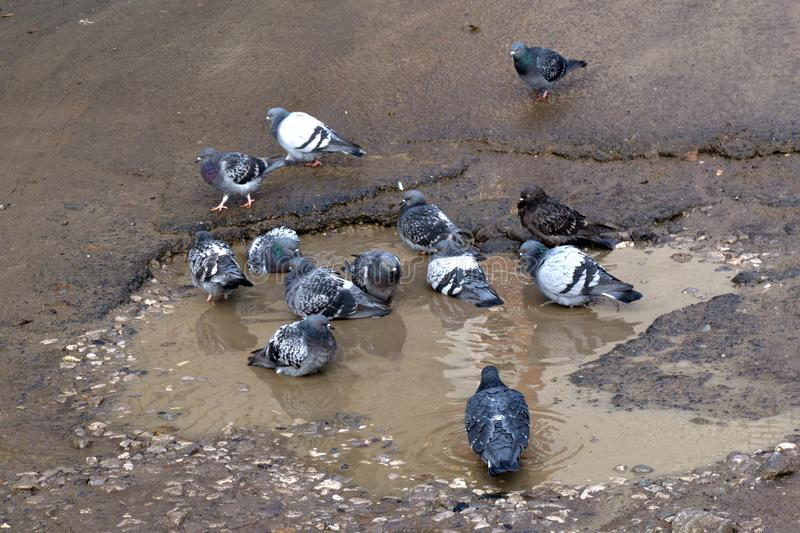 The bird bathes in the gutter . royalty free stock photo
