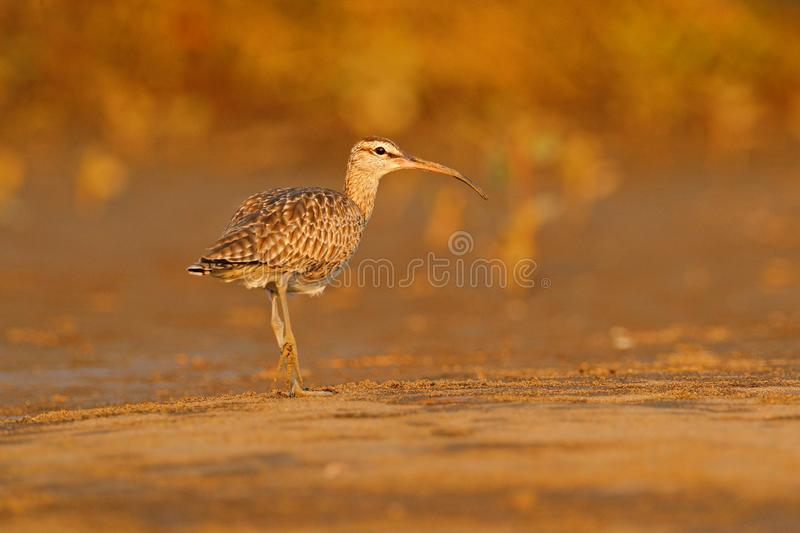 Bird on the beach in evening light, unset. Whimbrel, Numenius phaeopus on the tree trunk, walking in the nature forest habitat. Wader bird with curved bill royalty free stock image