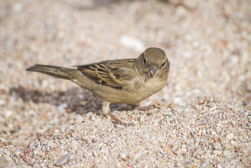 Download Bird On The Beach (sparrow) Stock Illustration - Image: 28863056
